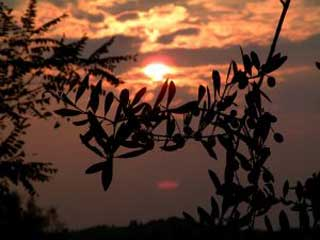 olive_grove_at_sunset