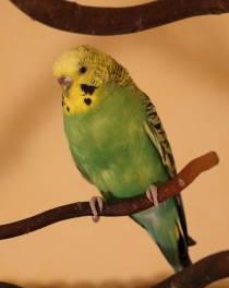 Hübsche Henne