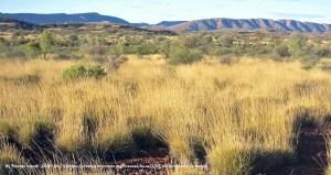 Wellensittiche Australien Landschaft Lebensraum Nahrung Gräser Samen Wikipedia