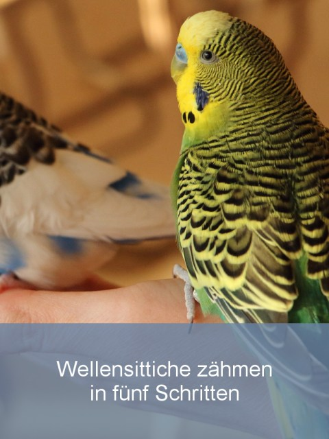 Wellensittiche Blog Wellensittiche zähmen in fünf Schritten Teaser