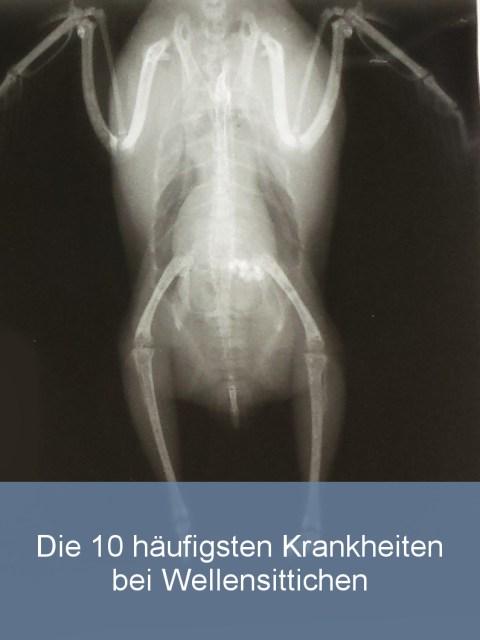 Wellensittiche Blog die 10 häufigsten Krankheiten bei Wellensittichen Röntgenbild