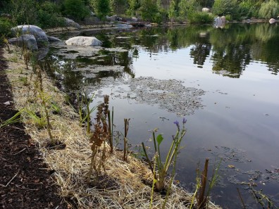 shoreline-planting-project-rotary-district-grant-2016-5