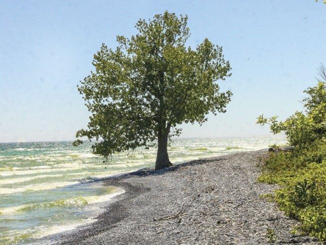 Ostrander-Tree