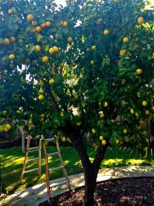 This just one side of our lemon tree!