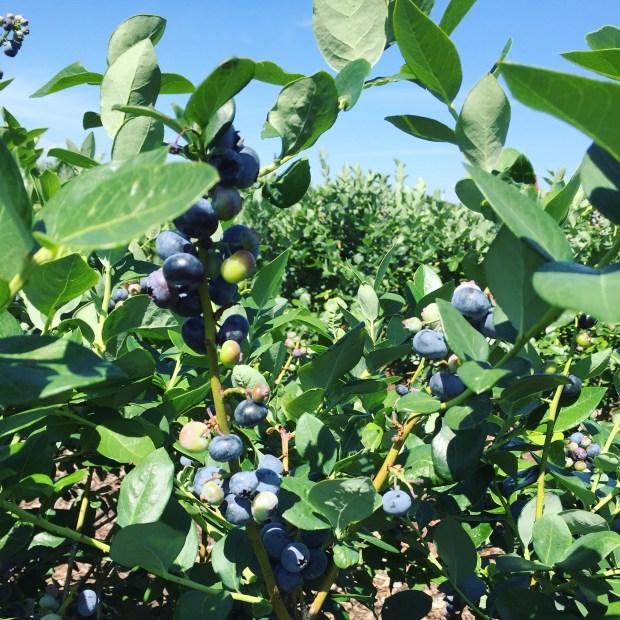 Tom West Blueberries