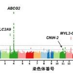 痛風の発症に関連する遺伝子が発見される!