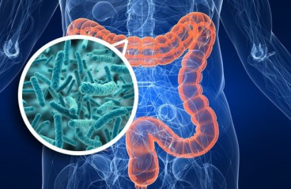 bifidobacterias in the gut