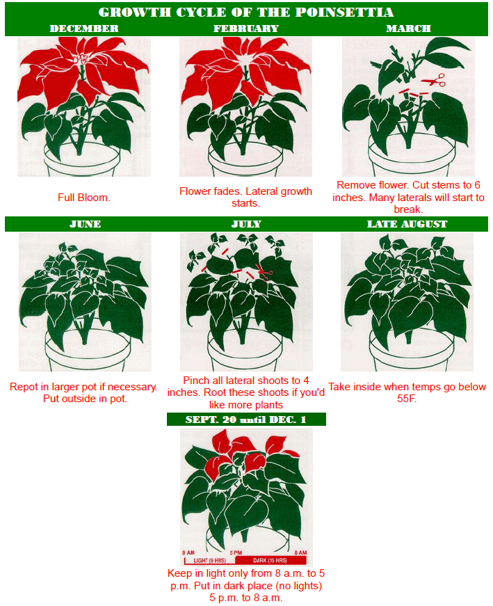 Poinsettia growth chart
