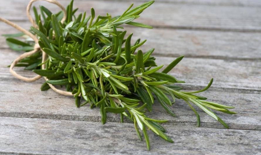 The Herb Rosemary Benefits, Wonder Herb for Longevity