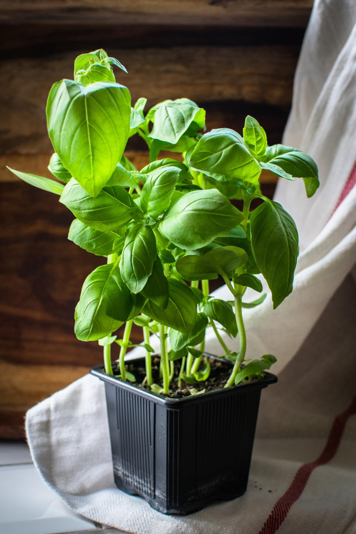 Basil is both indoor and outdoor plant