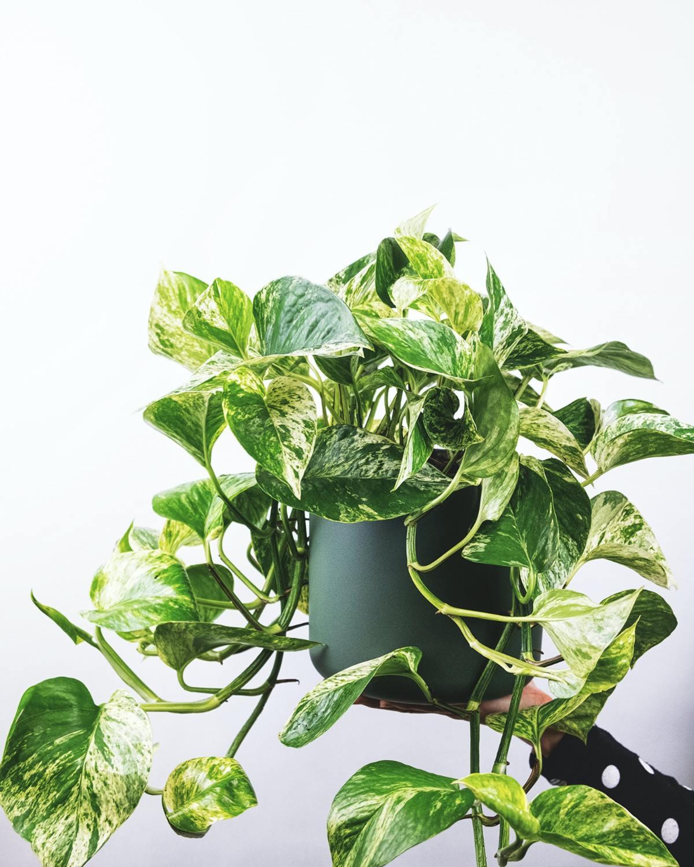 Pothos Plant, Mood Boosting Houseplants