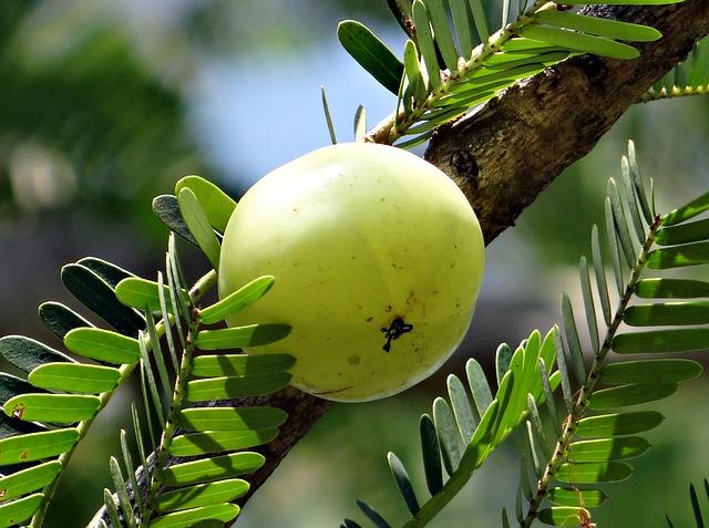 indian-gooseberry-337445_640