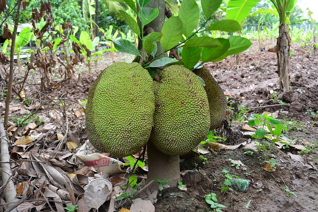 10 snack and dessert ideas using  jack fruit seeds - Jack fruit seeds are highly nutritious