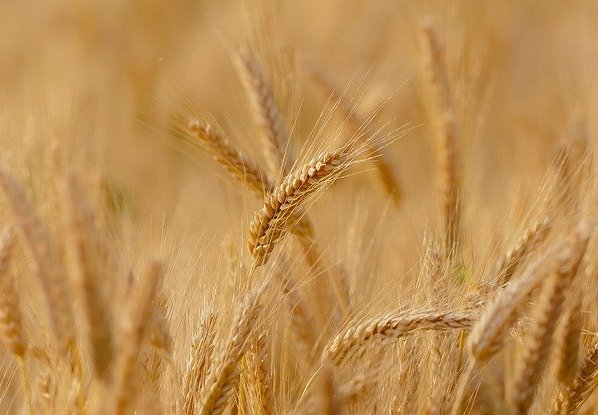 Why and how to eat khapli wheat