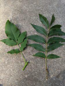 Ash vs pecan ash borer