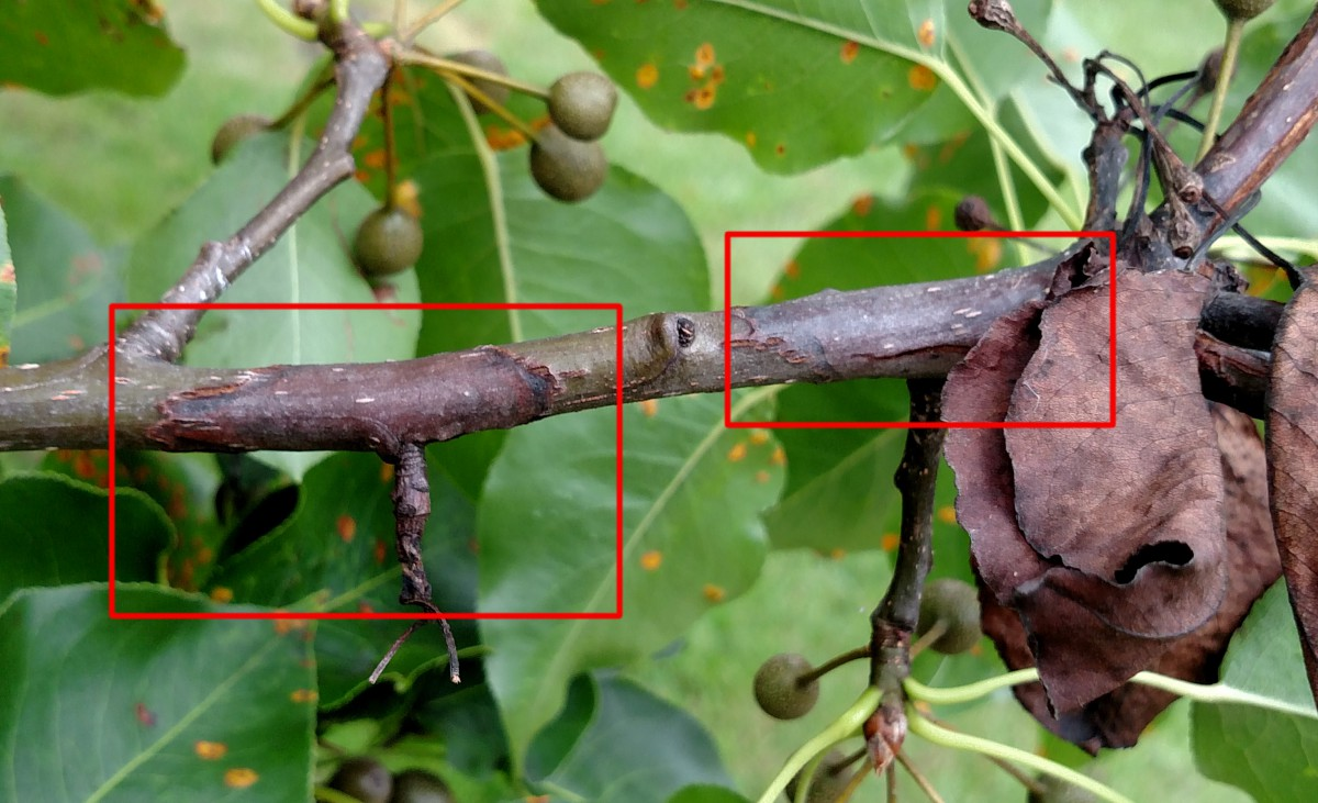 Fire Blight Pear Tree Diseases Pictures