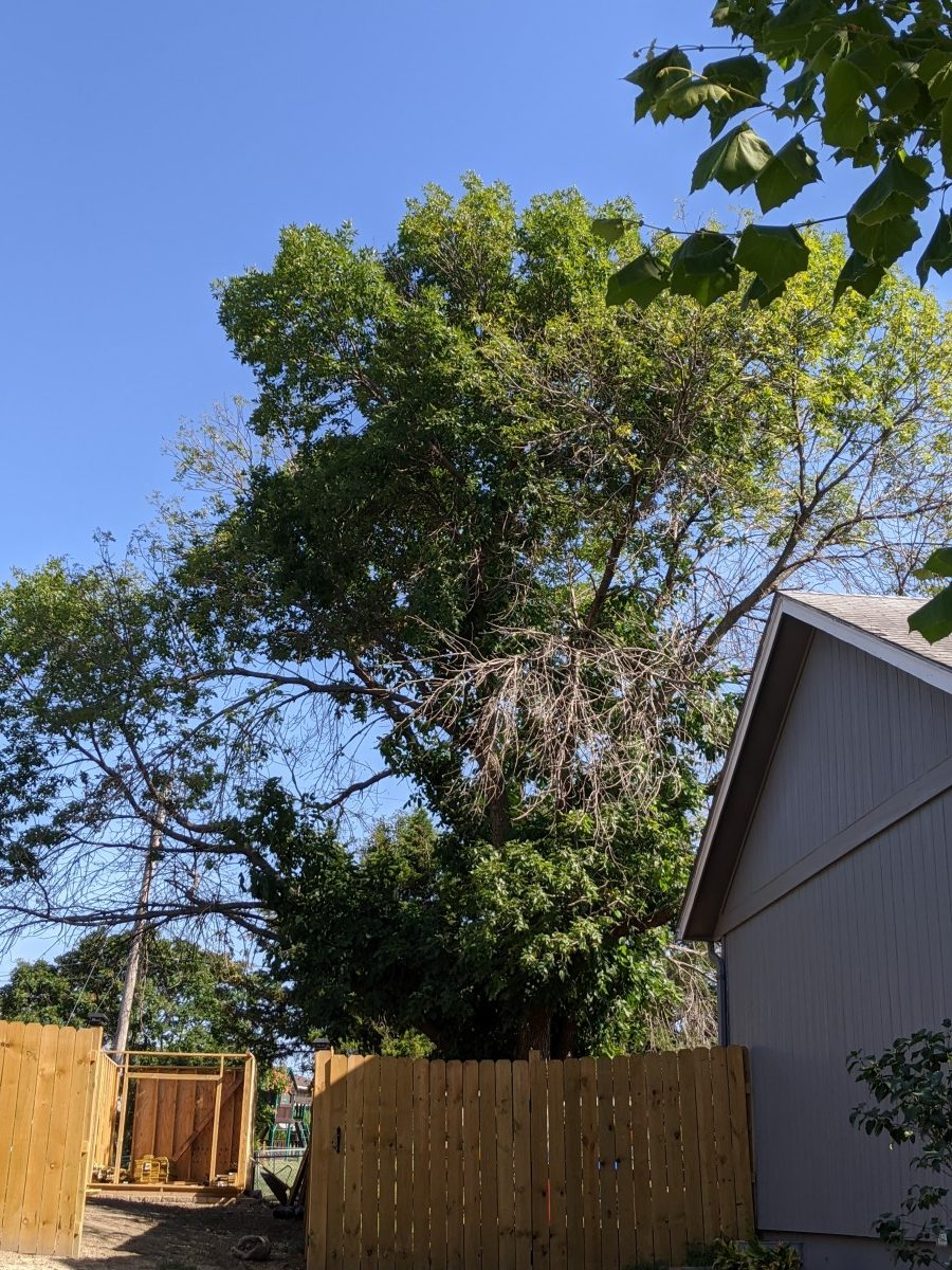 Ash in decline from emerald ash borer
