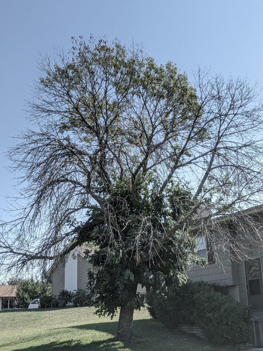 Emerald ash borer tree