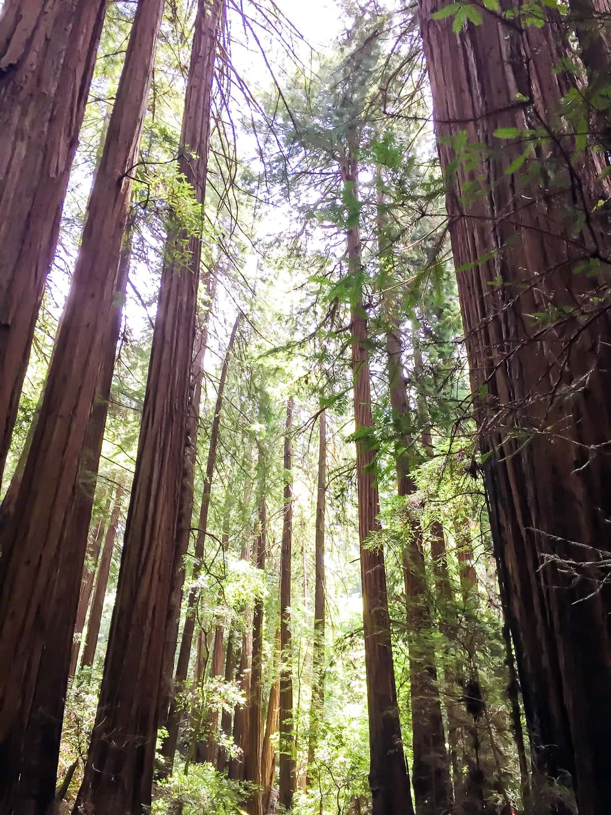 What to do in San Francisco: Visit Muir Woods
