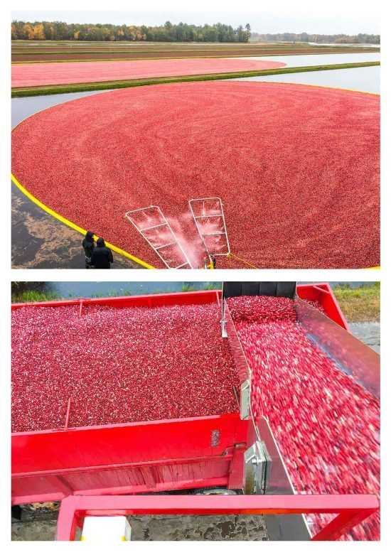 Wisconsin cranberries being harvested
