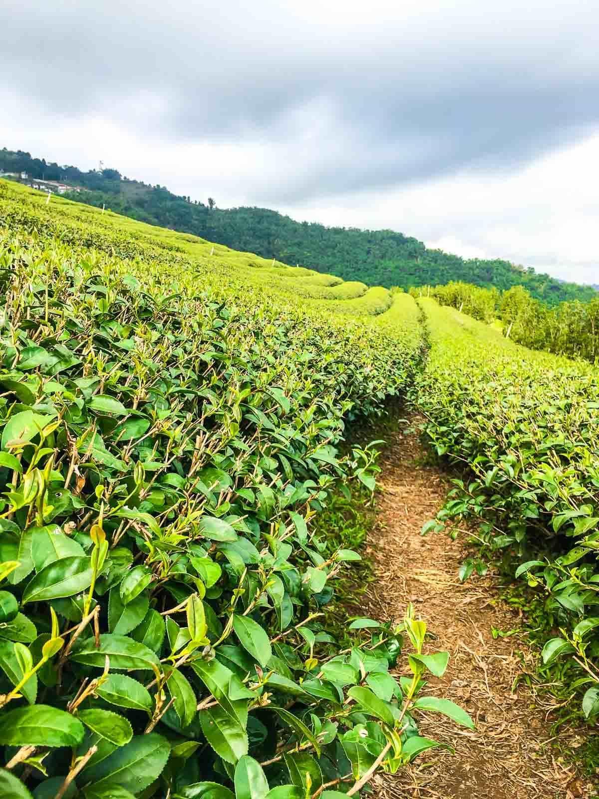 Oolong tea fields of Thailand