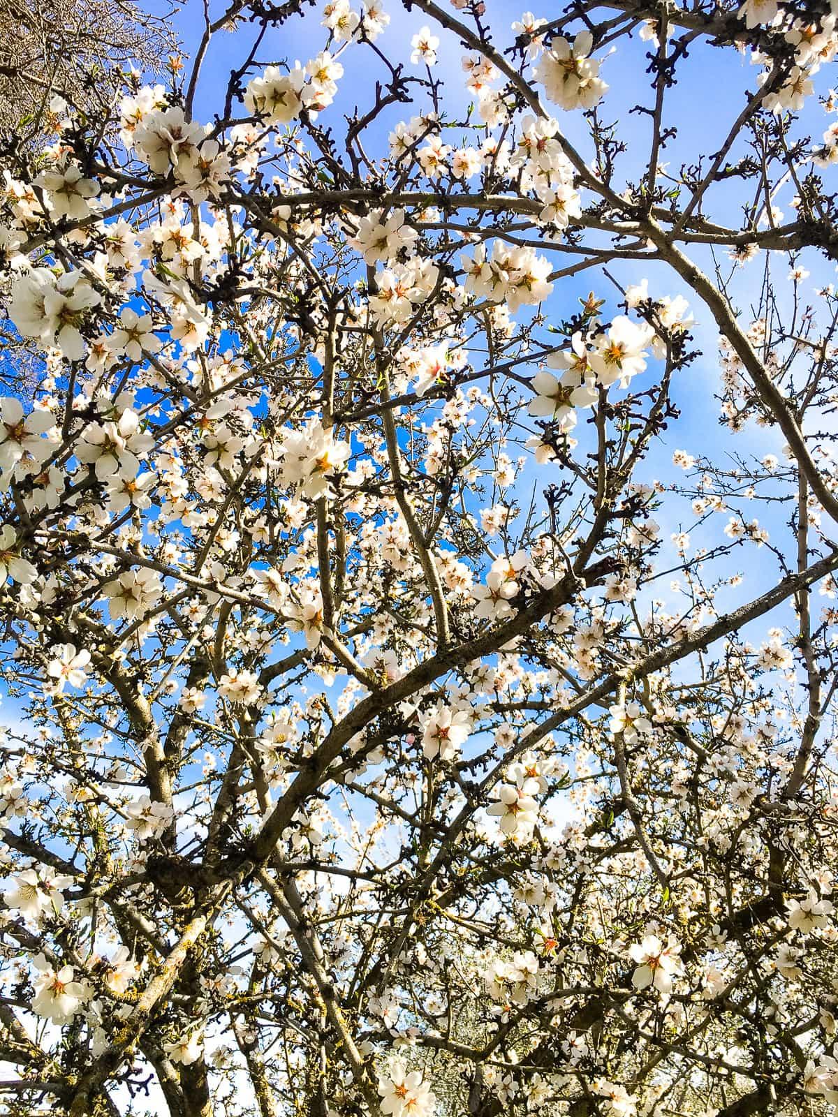 Almond Orchard + Vegan Mashed Cauliflower Recipe