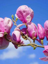 Purple Spring Flower on Tree in Wisconsin