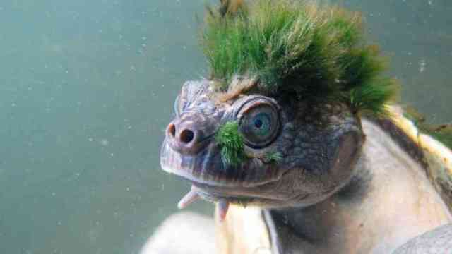 Mary River Turtle the punk rock turtle