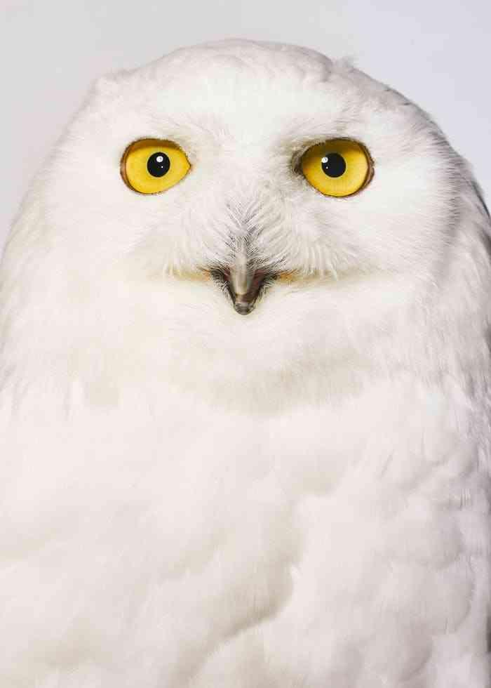 Beck, a snowy owl