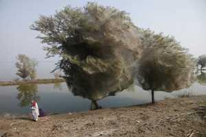 Spiderweb trees 🕸️