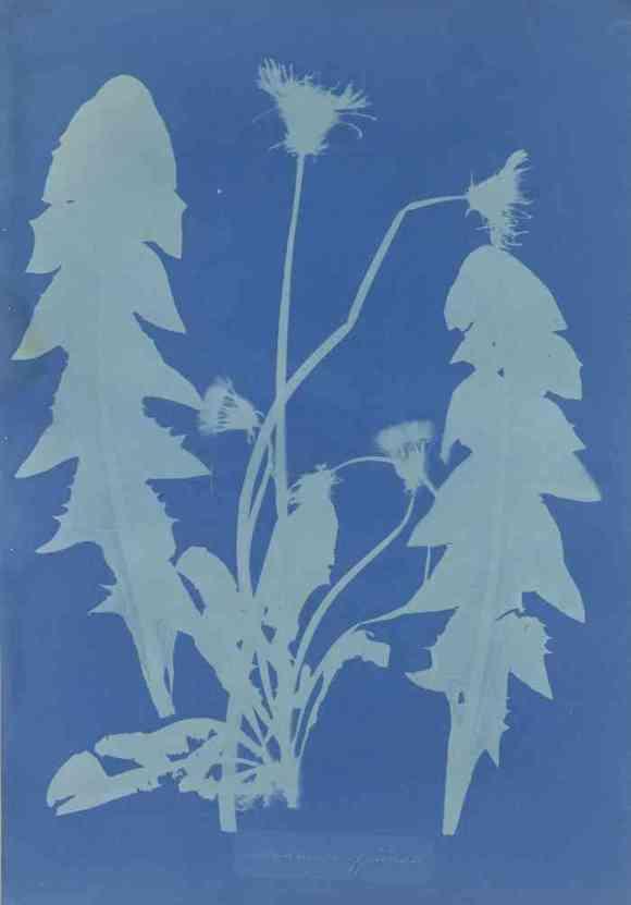 19th century algae prints by Anna Atkins