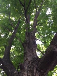Tree in Mahopac, New York, JHD
