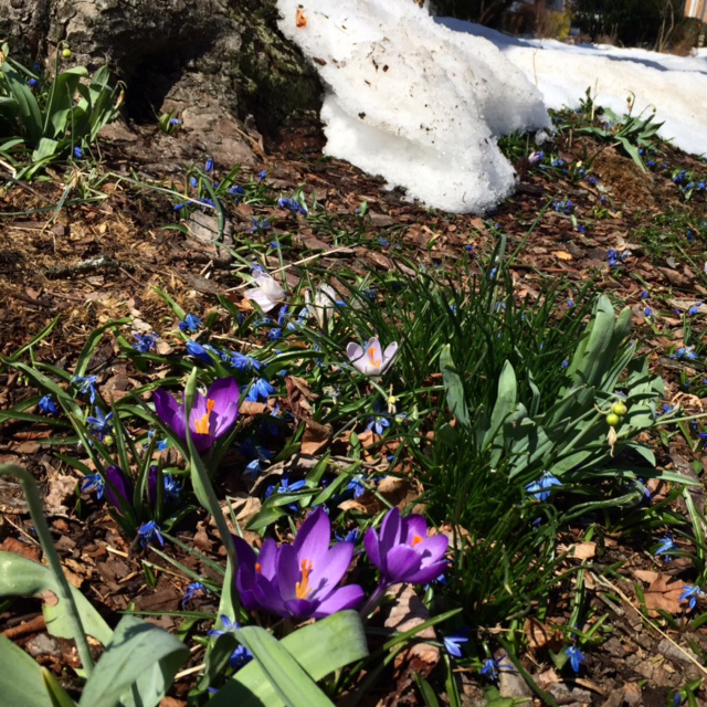 Springs defies the snow, JHD