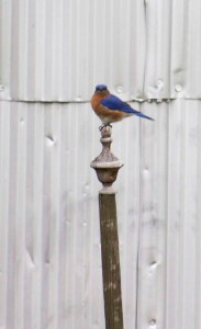 bluebird on finial