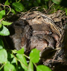 baby cardinals in roses