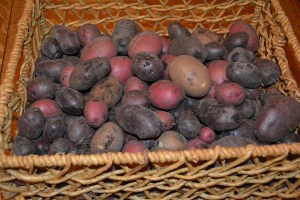 potatoe harvest 1