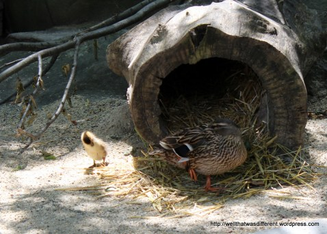 Mama duck and baby duck.