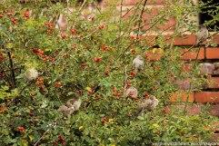 Fat little birds in a bush by the wall.