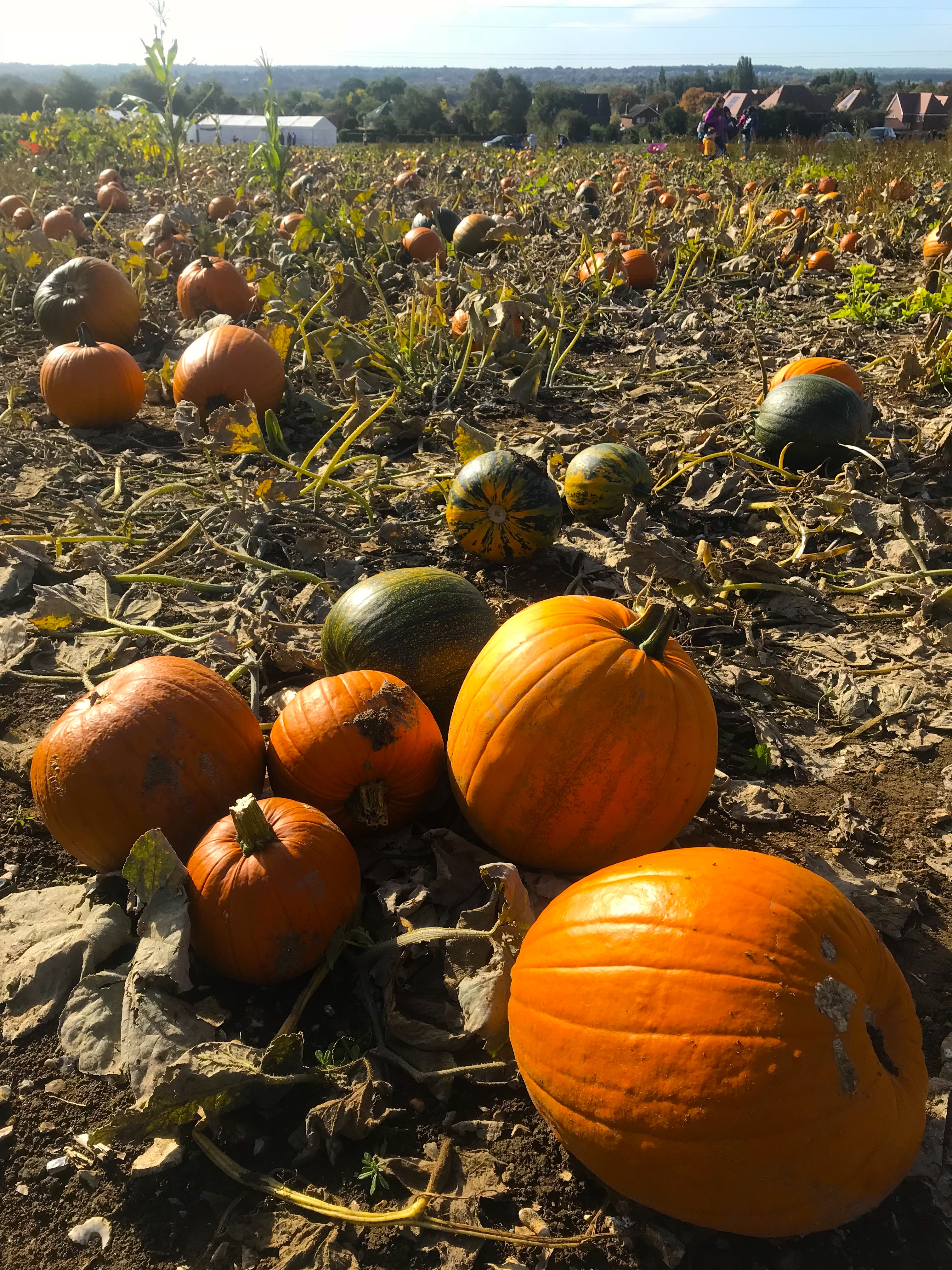 Pumpkin Picking at Pumpkin Moon in Maidstone, Kent