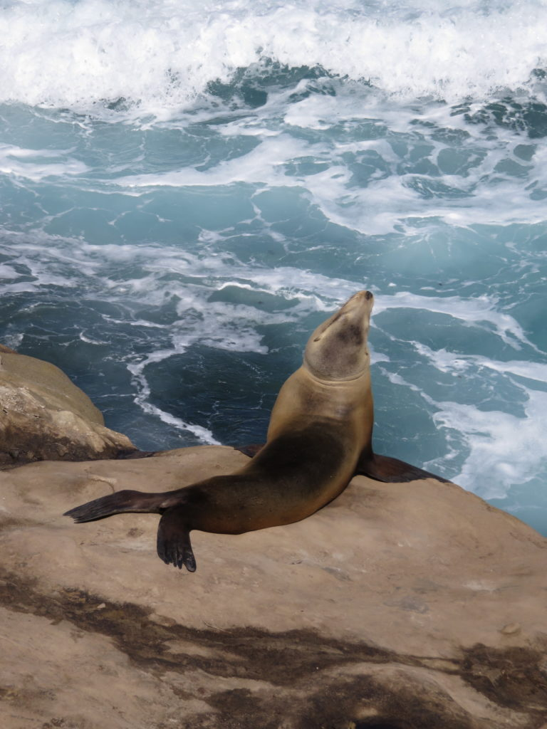 Proud sea lion on the cliffs at La Jolla Cove