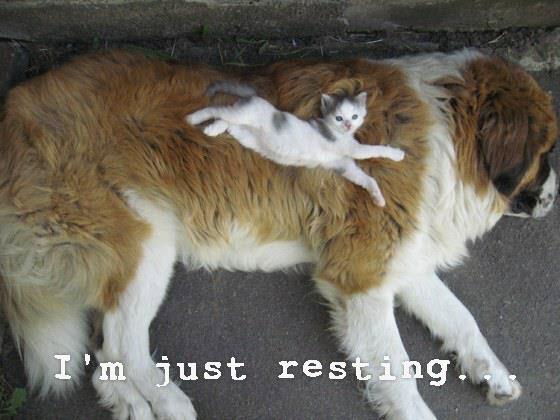 kitten on large dog
