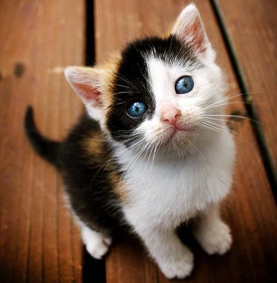 blue eye calico kitten