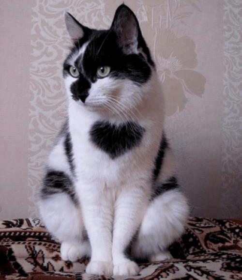 heart cute cat