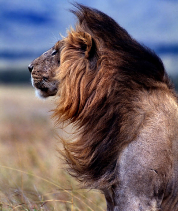 lion of the steppe