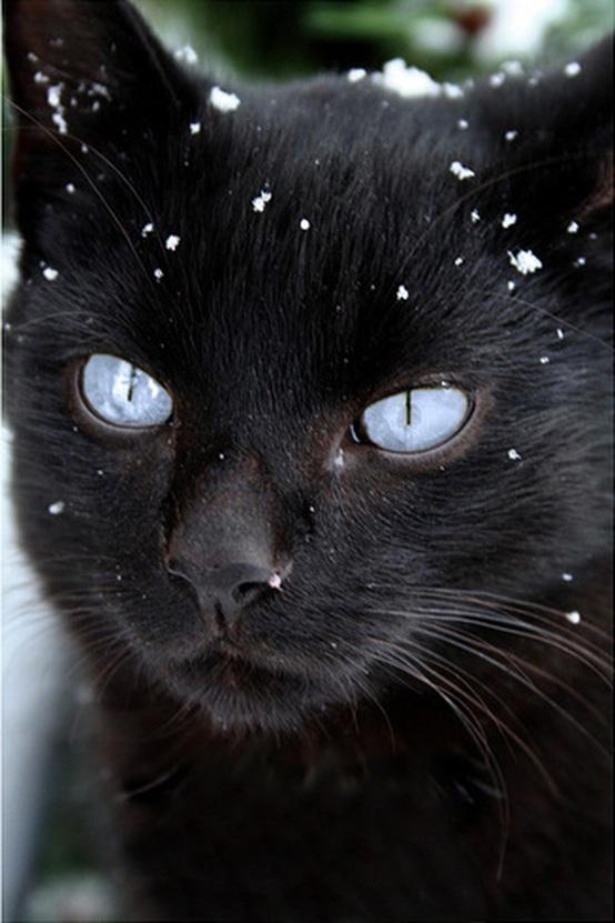 black cat blue eye snow