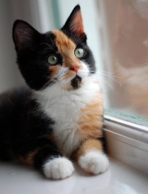 claico cute kitten window