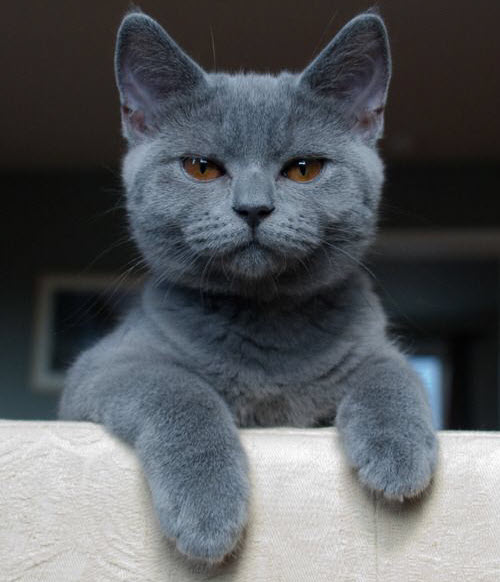 handsome grey cat