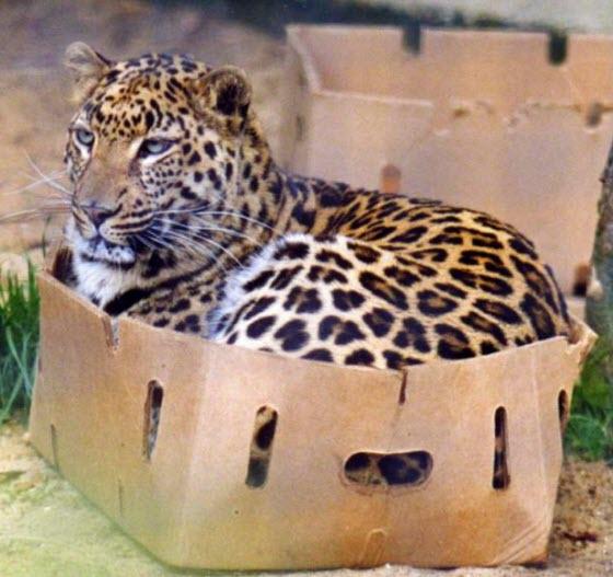 jaguar in box