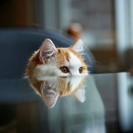 reflection kitty