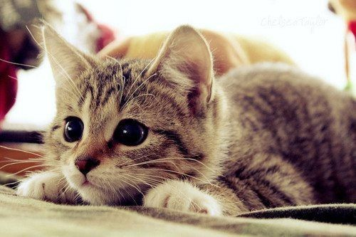 cat pounce lying down